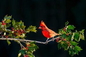 holly tree with Carolina cardinal. Salazar Tree Experts